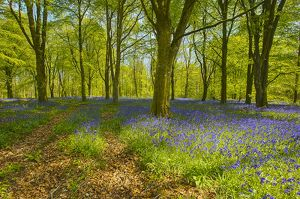 Bluebell Wood  2 (Copy).jpg