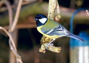 blue tit (Copy).jpg