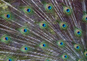 peacock fan (Copy).jpg