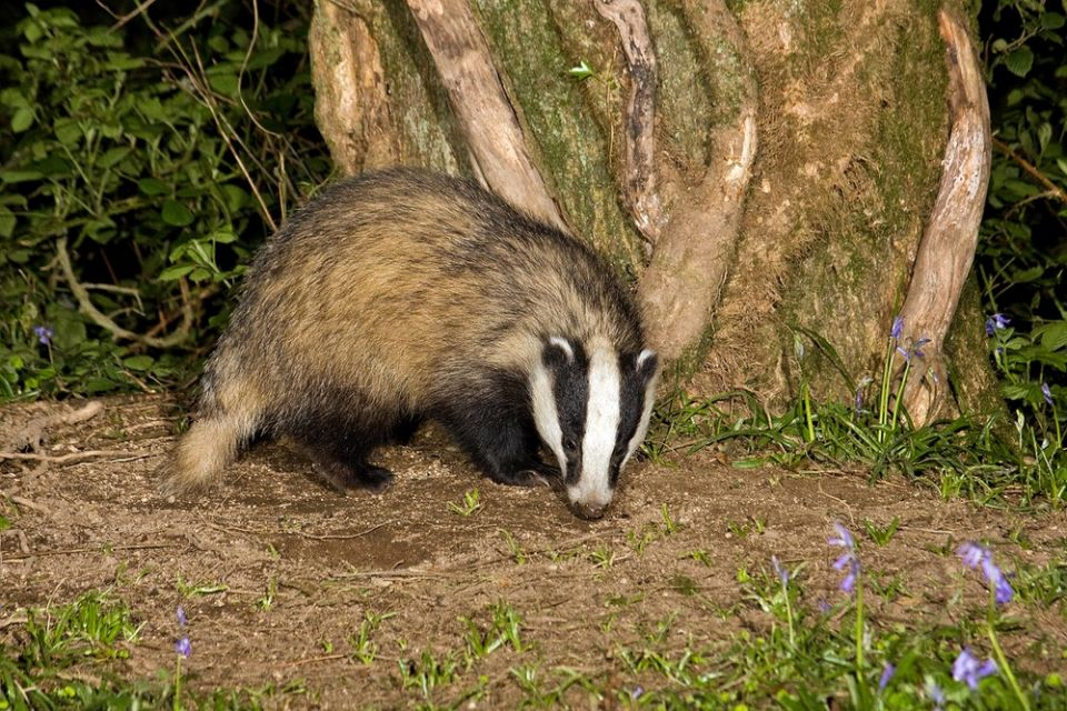 Badger Bluebells (Copy).jpg